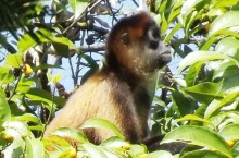 costa rica spider monkey