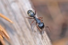 ant on wood