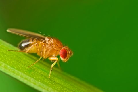 Image of a fruit fly from ichemblog.org.