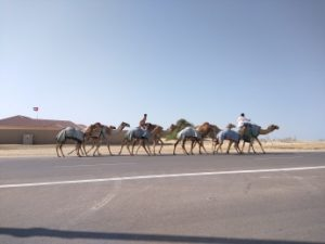 Camels on the side of the road.