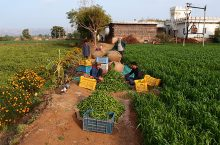 Image of drip irrigation practice in India.
