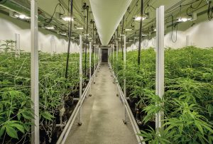 Indoor nursery for the cultivation of medical marijuana.