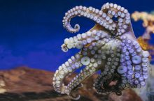 Close up view lively bright color octopus on background blue sea aquarium