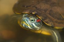 Closeup of red eared slider in the wild