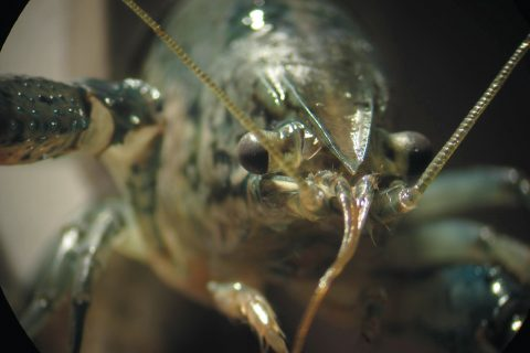 Up close and personal with one of the self-cloning marbled crayfish from Neurophysiology Professor Wolfgang Stein's research laboratory.
