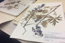 two pressed plants sitting in large folders.
