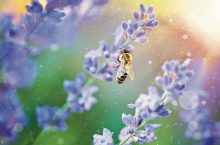 Bee picks honey on flowers lavender on sunset in sunny ray insect.