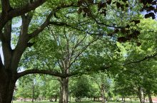 Trees on the Illinois State University Quad.