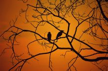 Silhouette of creepy birds sitting in a tree